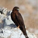 Falco eleonorae_©ΓιώργοςΚατσαδωράκης_ΟΡΝΙΘΟΛΟΓΙΚΗ